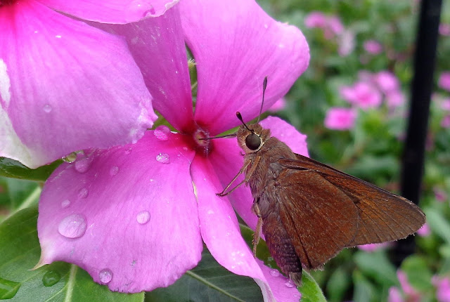 Skipper butterfly drinking from Vinca, Colleen M. Dougher The Invisible Fly