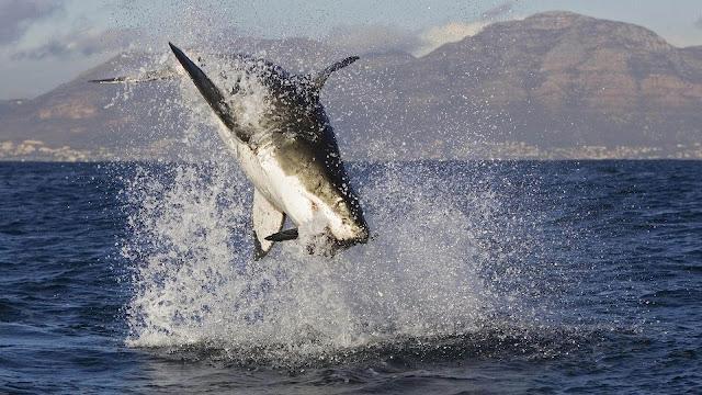 Foto van een springende, aanvallende haai