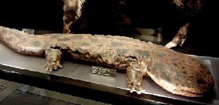 salamander raksasa