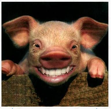 Hasil gambar untuk gambar babi