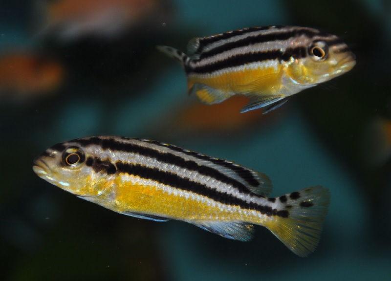 Gambar Melanochromis auratus - Jenis Jenis Ikan Cichlid ( Malawi Cichlids )