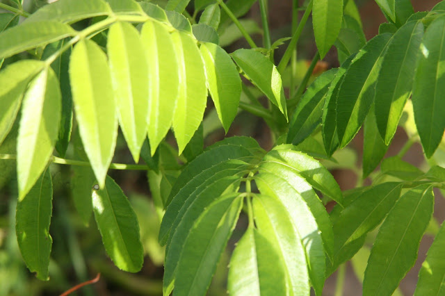 healthy green leaves with sufficient potassium