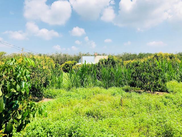 Bán đất vườn Diện tích 9925 mét vuông trồng nhãn Ido đang cho thu hoạch, Phước Tân,Xuyên Mộc
