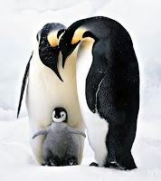 Bir penguen ailesi, Anne baba ve yavru penguenler