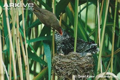 Common Cuckoo chick