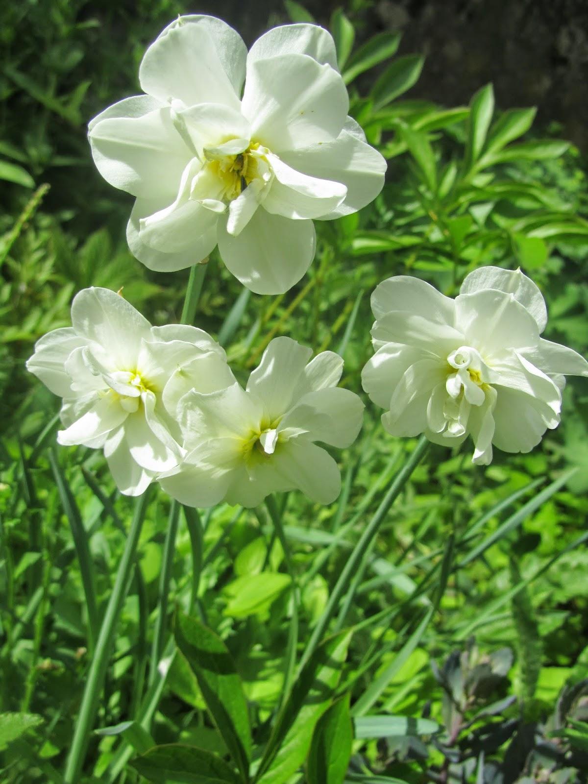 Kuvahaun tulos haulle pikkuinen puutarhani narcissus