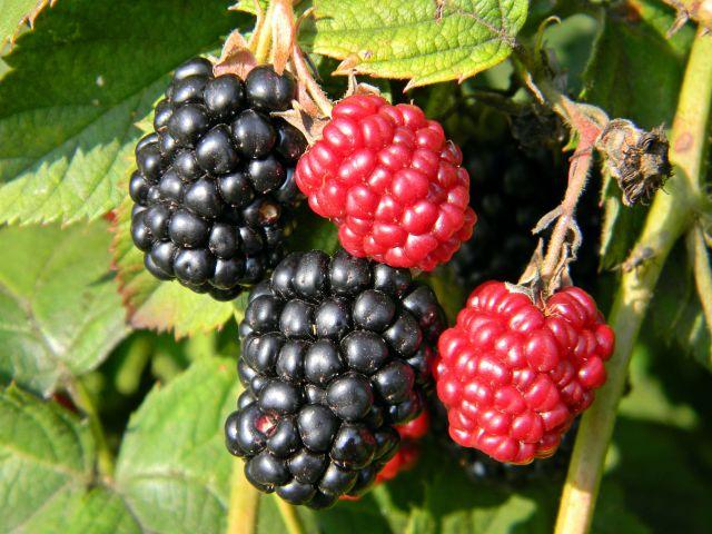 owoce, krzew, czarne, czerwone