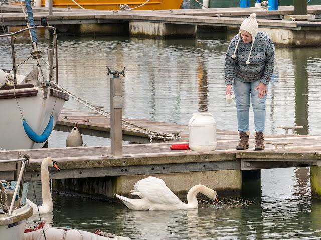 Photo of me feeding the swans at Maryport Marina