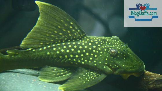 Jenis ikan sapu-sapu hias Green Phantom Pleco