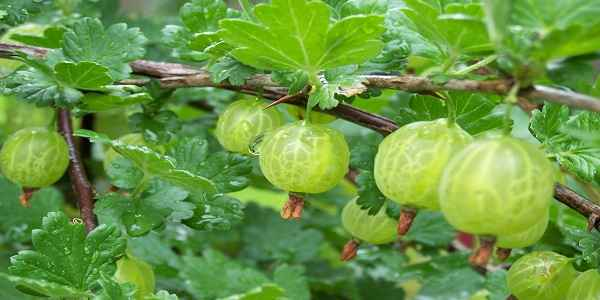 gooseberry-amla