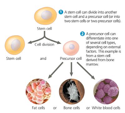 Sel Punca dari embrio (embryonic stem (ES) cells), stem sel, stem cell, sel punca, sel punca adalah, stem cell adalah, stem sel, jenis jenis, sel punca, jenis jenis stem sel, jenis jenis stem cell, perbedaan stem cell / sel punca yang berasal dari embrio dan yang berasal dari organisme dewasa, Pluripotensi adalah, pengertian Pluripotensi, Induced Pluripotent Stem (iPS), Induced Pluripotent Stem (iPS) adalah, cara membuat stem cell,