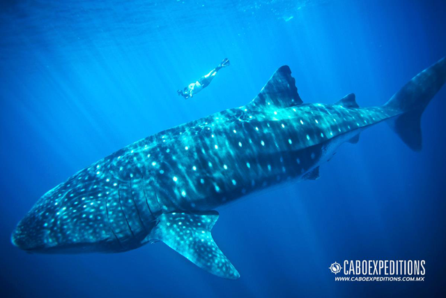 swimming with whale sharks cruise excursion