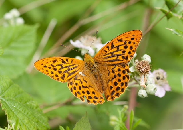 Silver-washed Fritillary - Northamptonshire