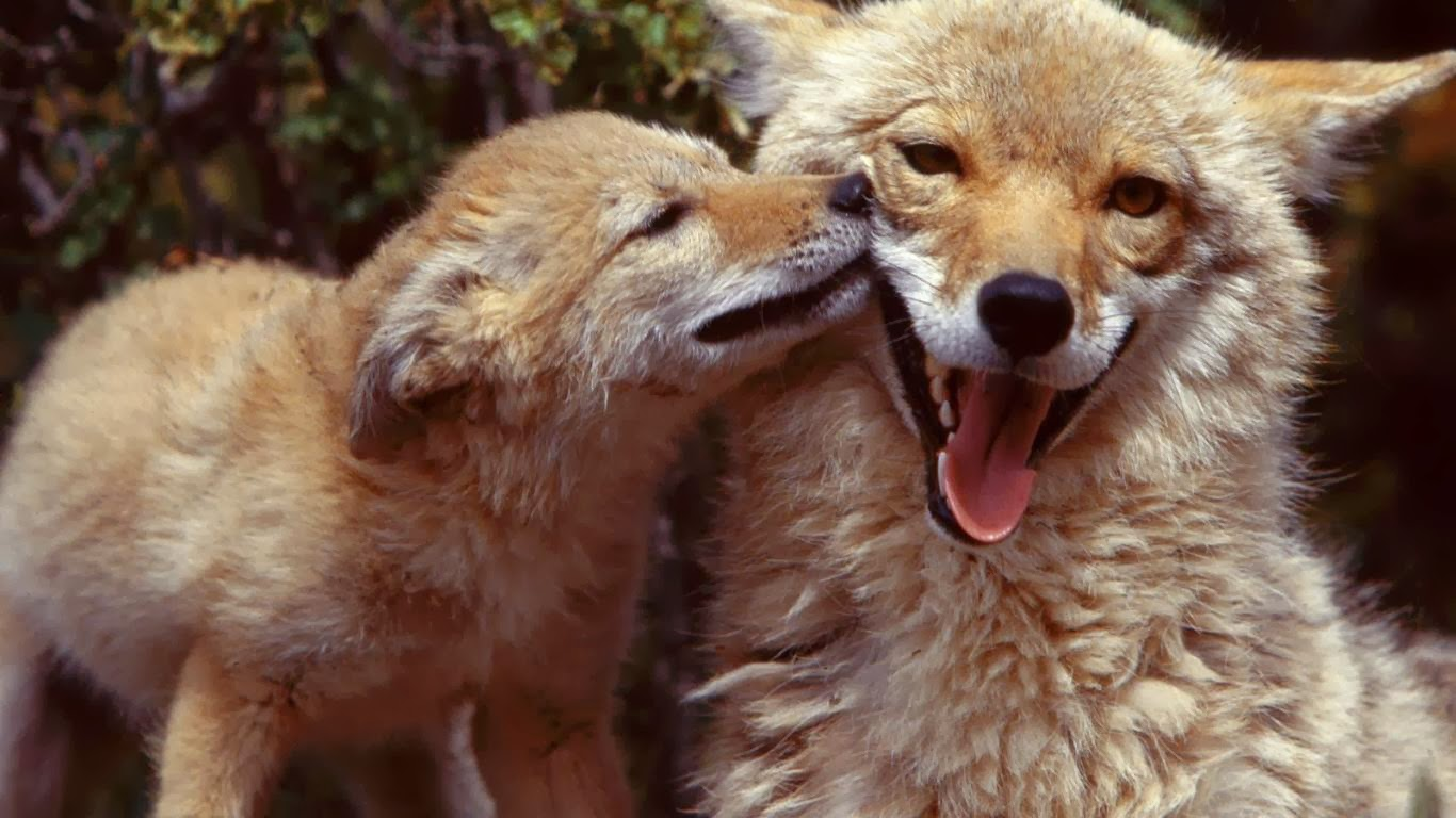 Coyote Pups Wallpapers