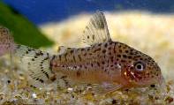 Jenis Ikan Corydoras punctatus