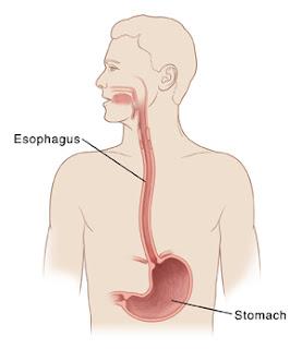 Organ-organ yang berperan dalam proses pencernaan pada manusia