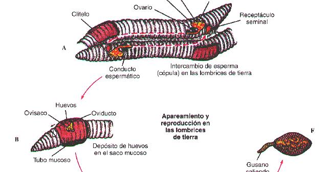 lombriz reproduccion