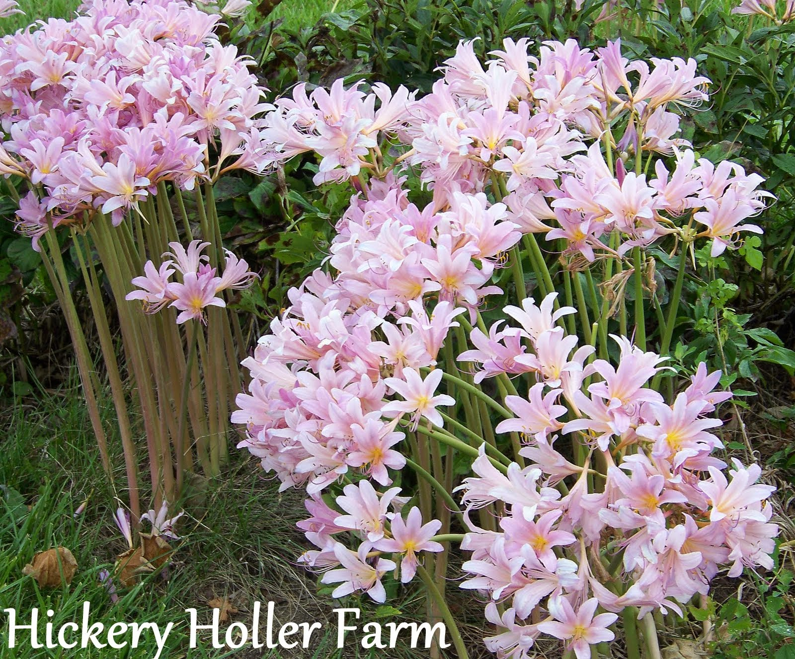 Hickery Holler Farm: Naked ladies Oh My!