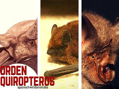 Los Mamíferos del Orden Quiropteros son conocidos como Murciélagos