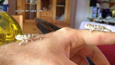 Crías de camaleón pantera - Furcifer pardalis
