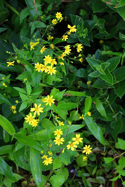 Undri Linum mysurense kaas plateau western ghats valley of flowers