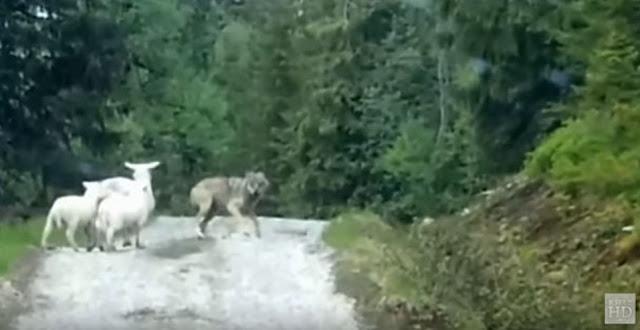Λύκους να κυνηγάνε πρόβατα έχεις δει…ΠΡΟΒΑΤΑ να κυνηγάνε λύκο έχεις δει;  [ΒΙΝΤΕΟ
