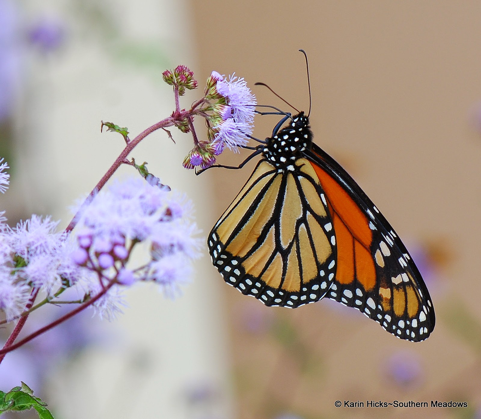 Monarch butterfly on ageratum