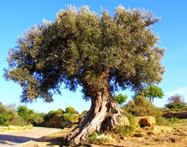 Bio gea ulivo l 39 albero della vita for Foto di alberi da colorare