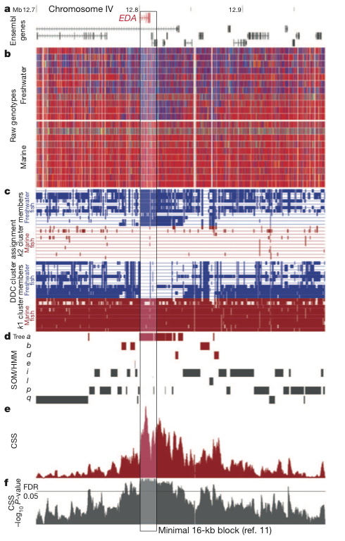 d88906495 Figure 1: Parallel divergence signals at known armour plate locus. a)  Ensembl gene models around EDA. b) Visual genotypes for sequenced fish  (homozygous ...