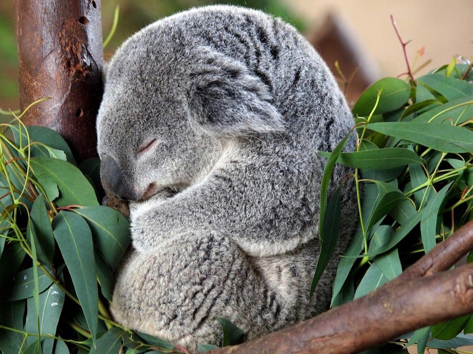 Hot Koala Uggs Mount Mercy University