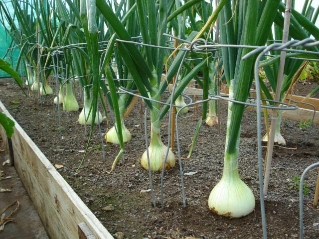 White onions grown in a raised bed