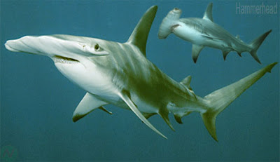 Hammerhead shark sea animal