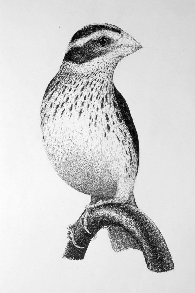 11-Bird-Rens-Ink-Animal-Wildlife-Pen-and-Ink-Stippling-Drawings