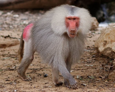 Animals That Start With B - Baboon