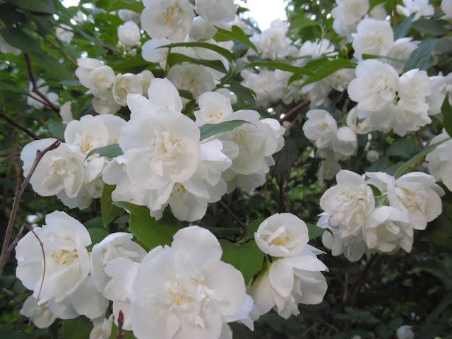 pełne kwiaty jaśminowca