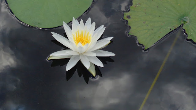 Pond Lily at Long Key Natural Area and Nature Center in Devie, FL