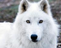 Resultado de imagen para lobo blanco ojos amarillos