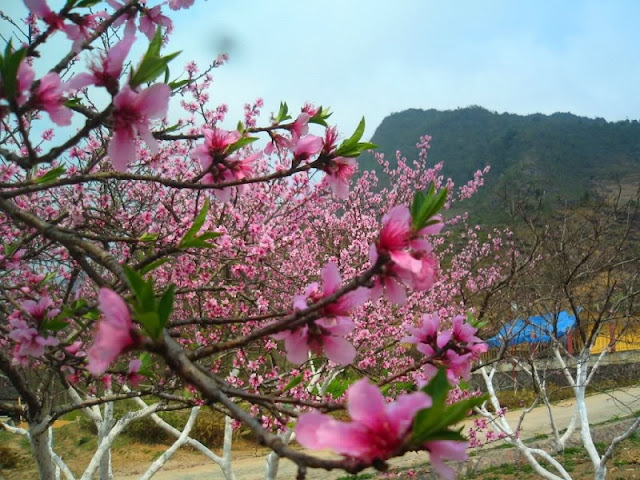 Things you might not know about cherry blossoms in Sapa