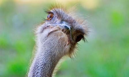 Ostrich - Burung unta