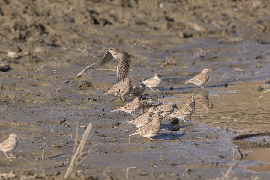 Rufous-capped Lark Calandrella eremica