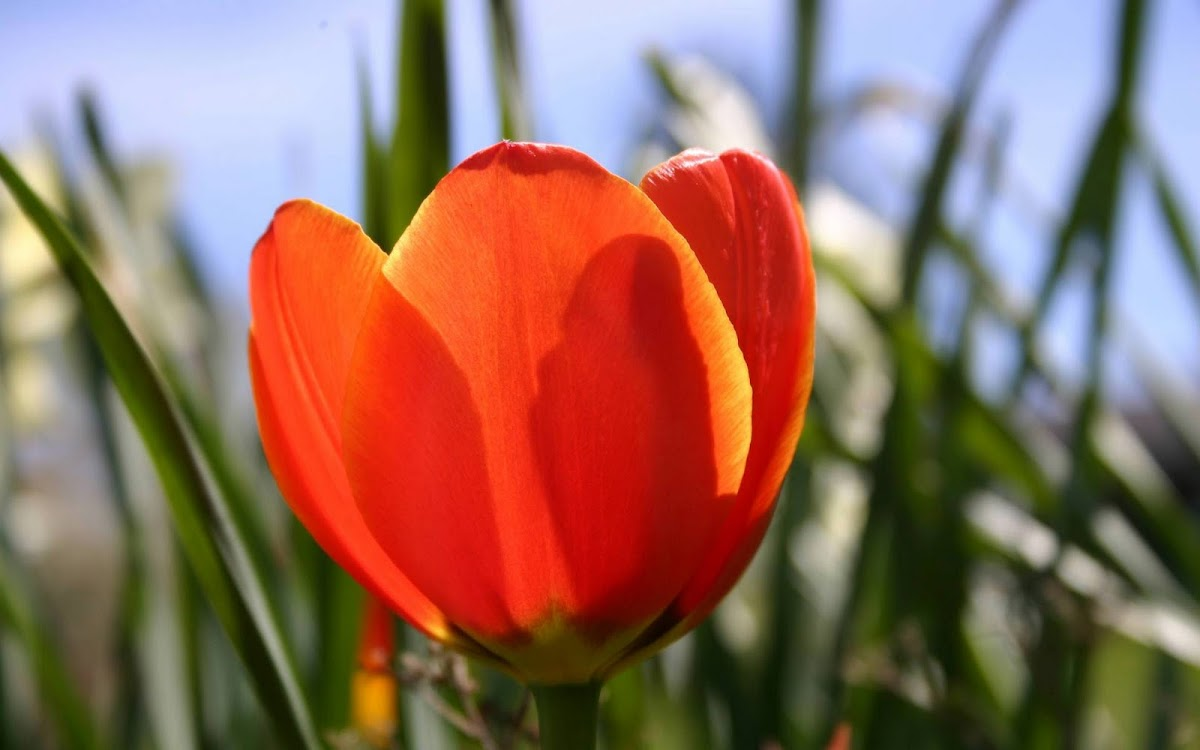 Beautiful Tulip Widescreen HD Wallpaper 5