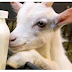 The Benefits Of Consuming Goat's Milk