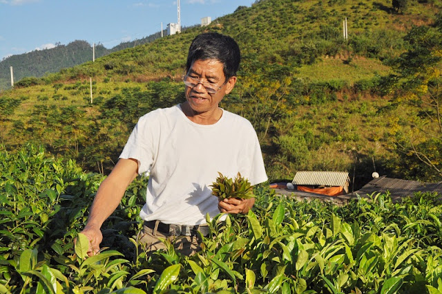 Tea harvest season in Yen Bai 2