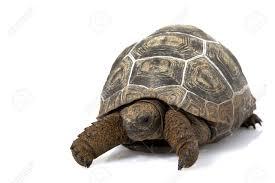 Kura-Kura Darat Aldabra