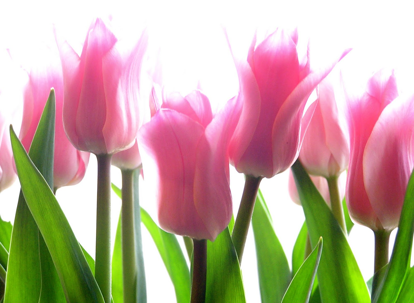 Pink Tulip Flowers HD Wallpaper