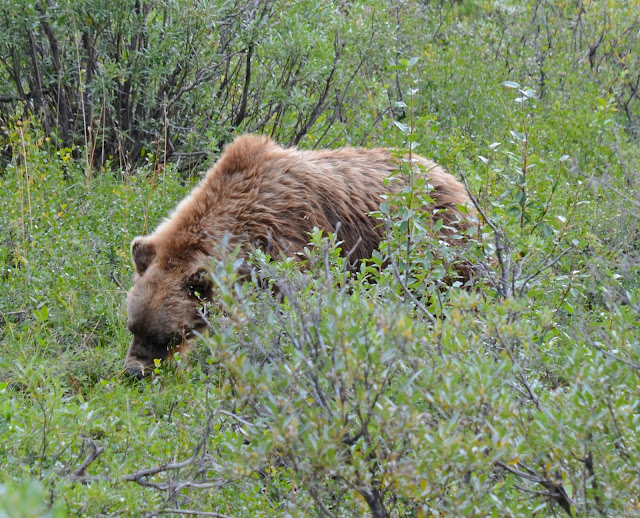 Grizzli, Denali National Park, Alaska, USA