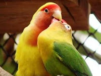 Cara Mengatasi Lovebird Birahi