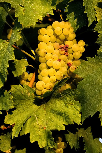 Verdicchio grapes from the Marche wine region