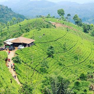 Tempat wisata di Majalengka Kebun Teh Cipasung