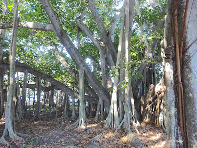 Banyan tree, Edison and Ford Winter Estate, Fort Myers, Florida